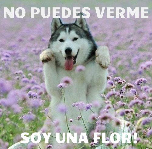 tu no puedes verme soy una flor husky perro perrito bonito chistoso divertido