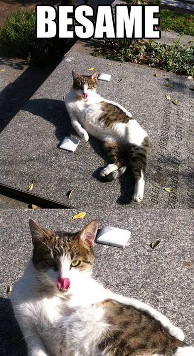 besame gatito gato chistoso